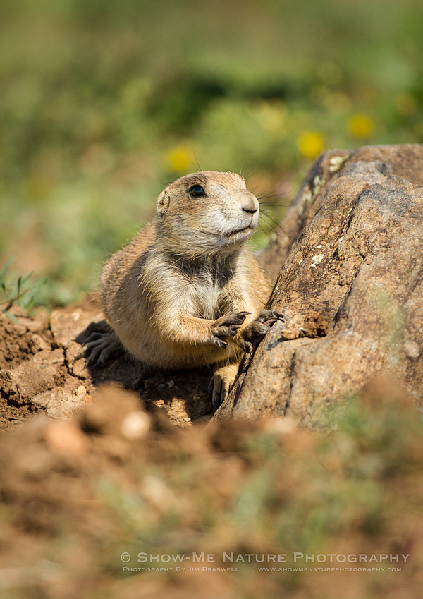 Black-tailed Prairie Dog pup