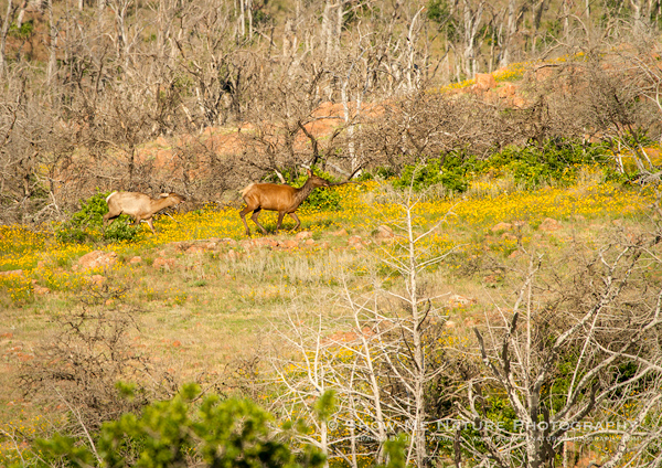 Elk in wildflowers