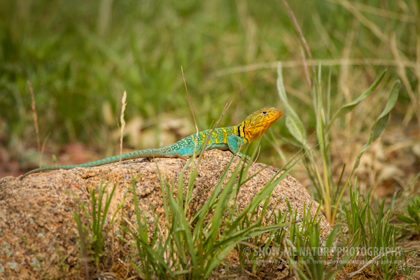 Eastern Collared Lizard male