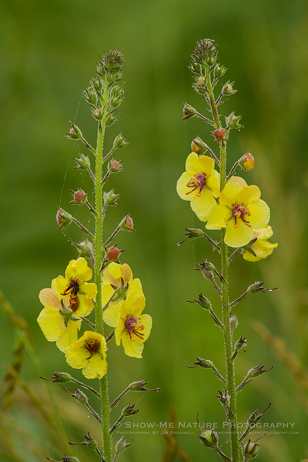 Moth Mullein wildflower