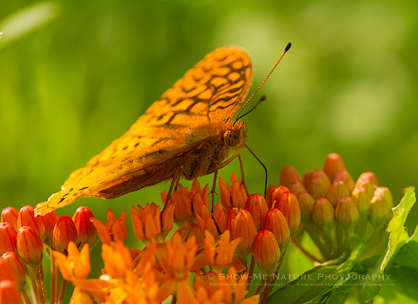 Fritillary Butterfly collecting nectar from Butterfly Weed wildflower