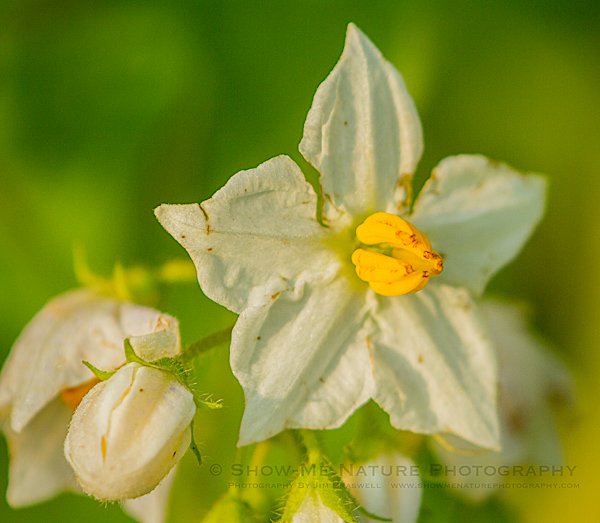 Horse Nettle wildflower