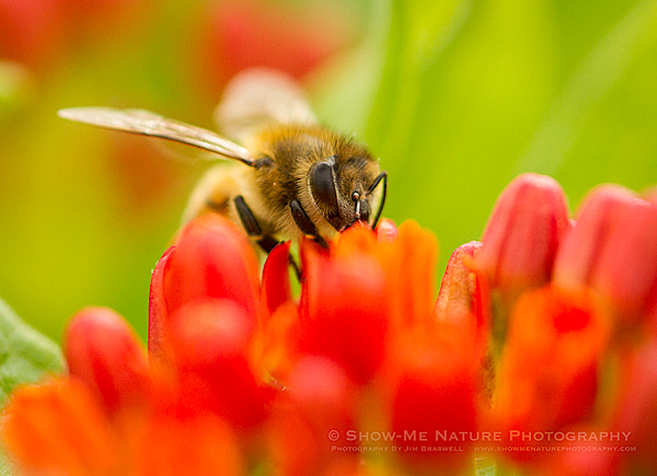 Bee on Butterfly Weed wildflower
