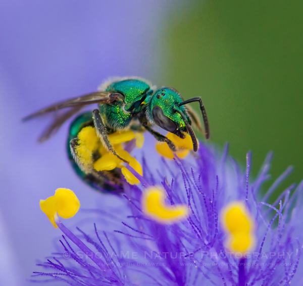 Green Metallic Bee on Spiderwort wildflower