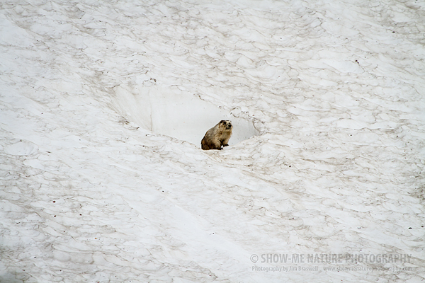 Hoary Marmot at the snow entrance to his burrow