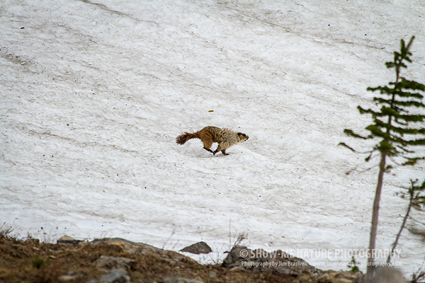 Hoary Marmot running in snow