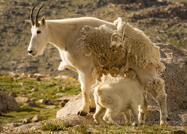 Mountain Goat nanny nursing a young kid