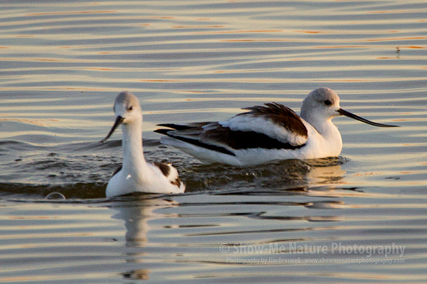 American Avocets on the refuge waters