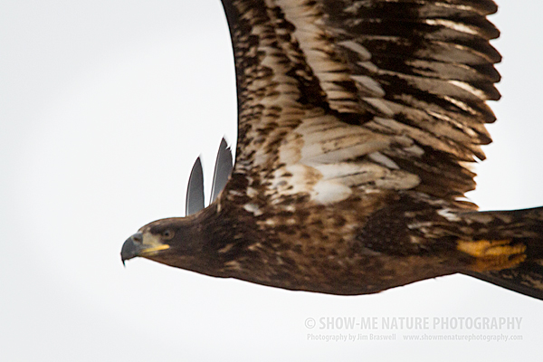 Juvenile Bald Eagle makes a close flyby