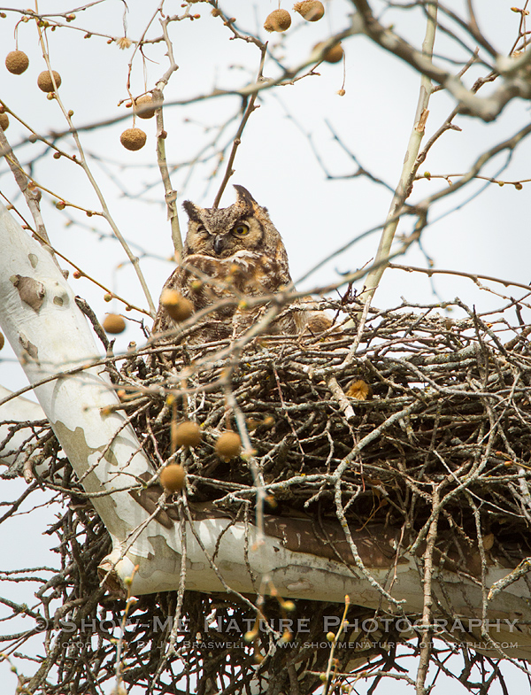 Great Horned Owl adult in nest