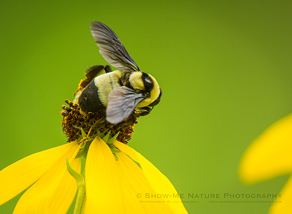 Bumble Bee on Gray-headed Coneflower