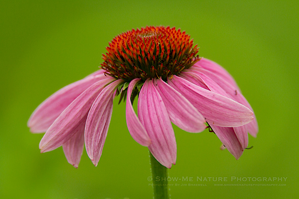 Purple Coneflower wildflower