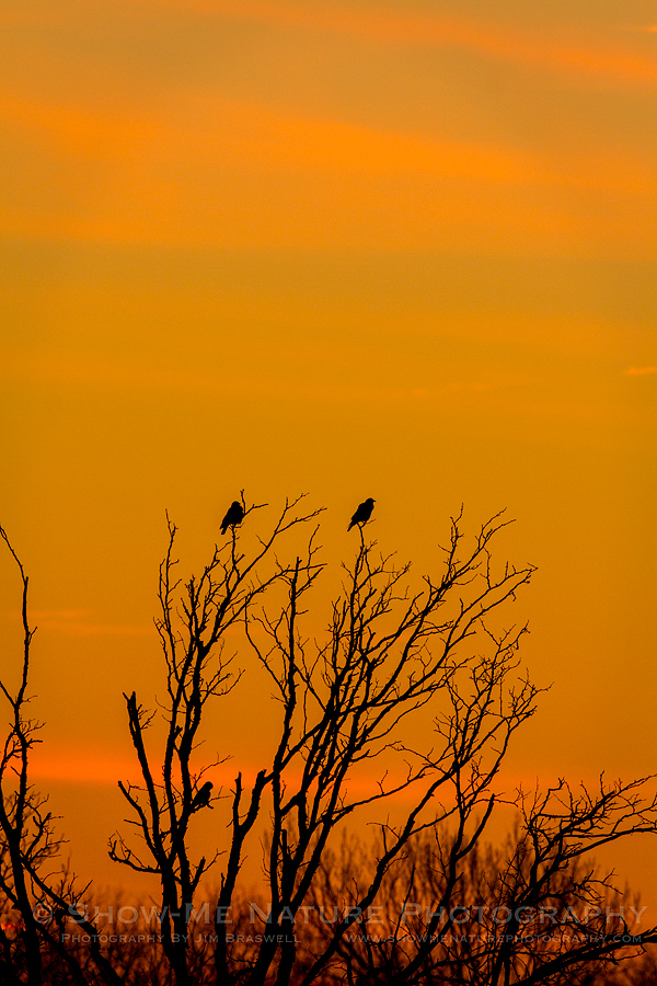 Crows gather in a bare tree as sunrise approaches