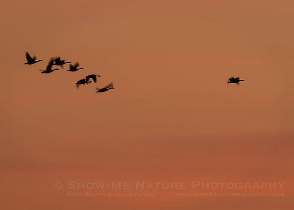 Canada Geese fly over in the pre-sunrise skies