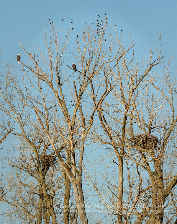 Pair of adult Bald Eagles