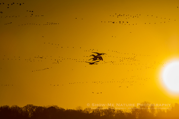 Trumpeter Swans in flight at sunrise