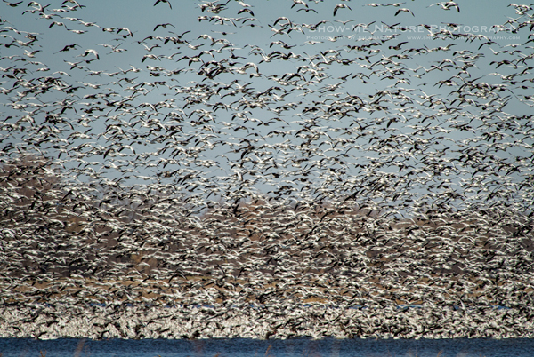 Snow Geese Frenzy