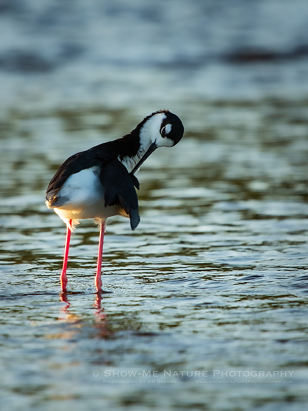 Black-necked Stilt preening