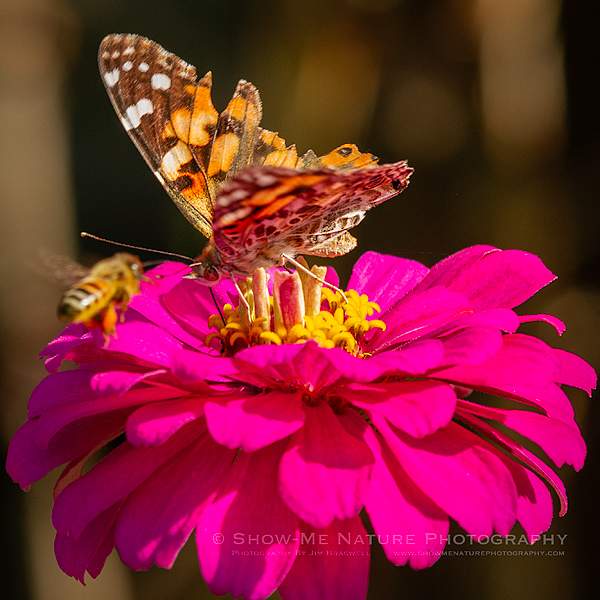 Painted Lady butterfly and Honey Bee on zinnia