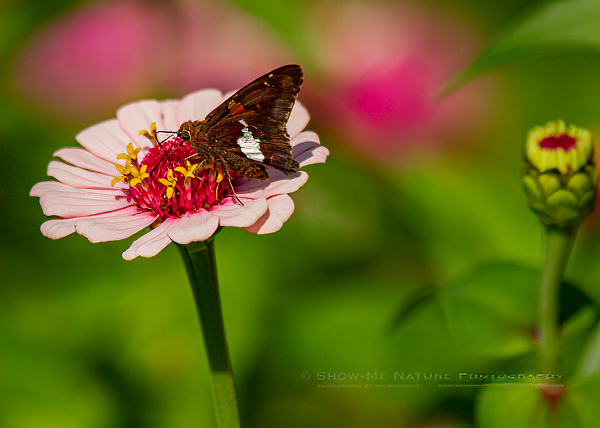 Silver-spotted Skipper butterfly