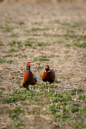 Ring-necked Pheasant, males