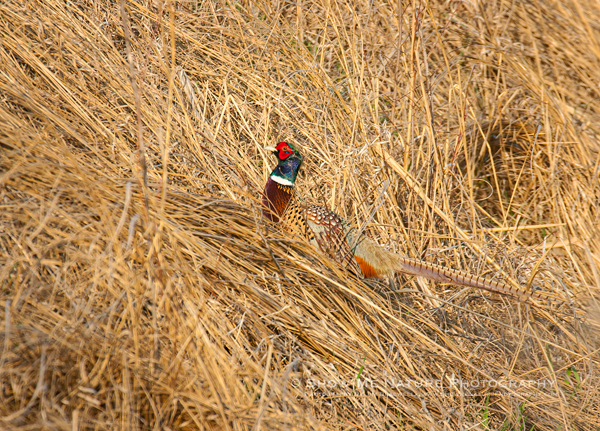 Ring-necked Pheasant, male
