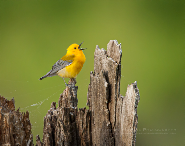 Prothonotary Warbler male, singing