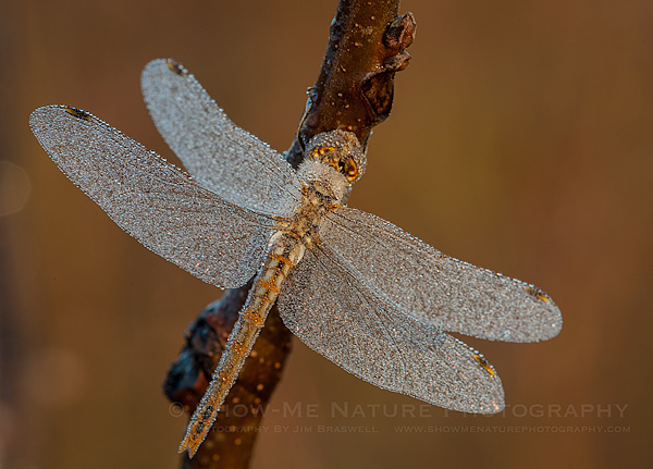 Dragonfly covered with early morning frost