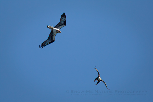Bald Eagle approaching an Osprey with 2 fish