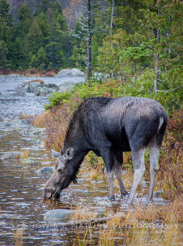 Cow Moose drinking from the pond