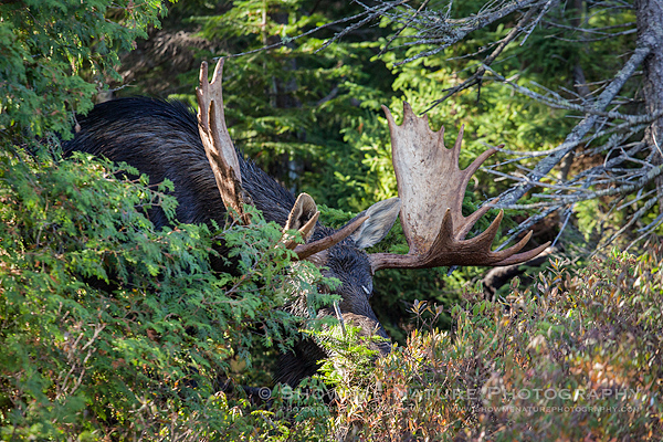 Bull Moose exiting the woods
