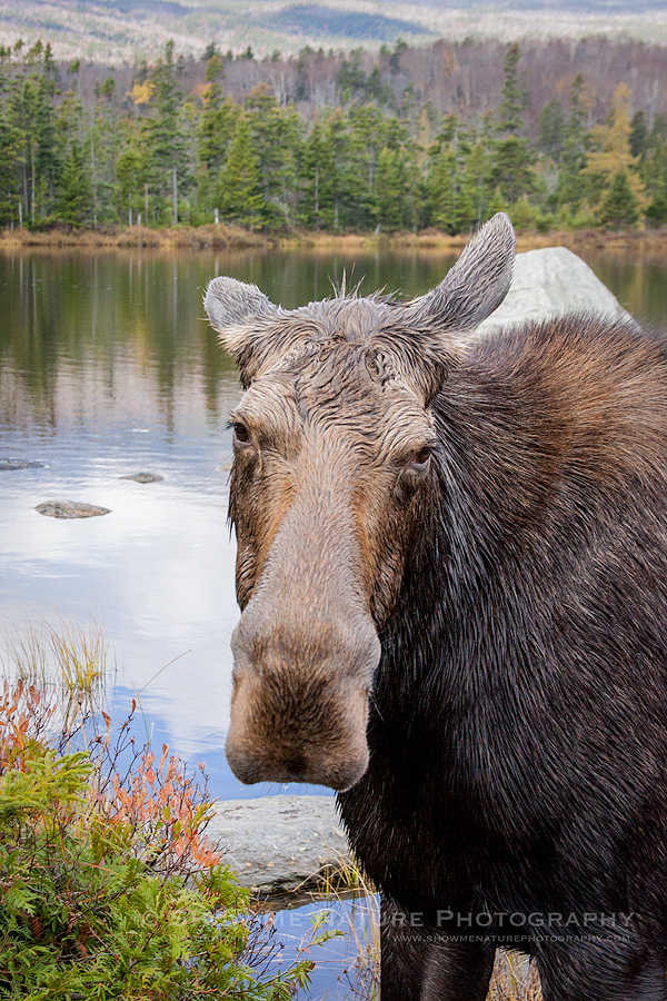 Cow Moose close-up