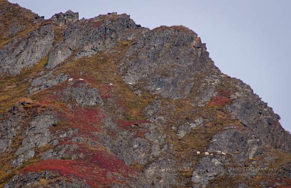 Mountain Goats in fall colors