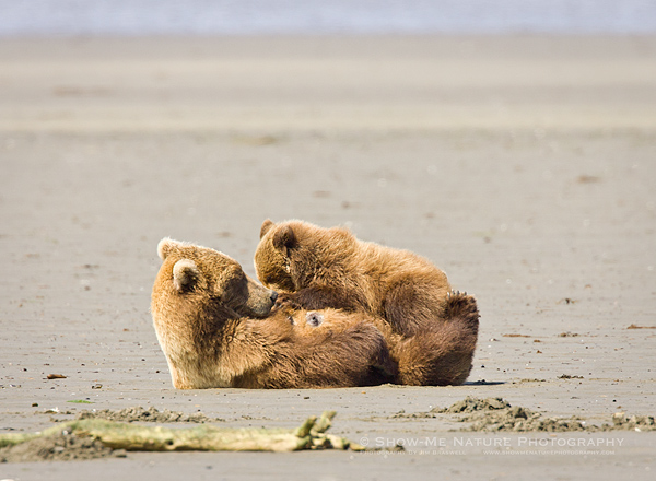 Brown Bear sow nursing young cub on the beach