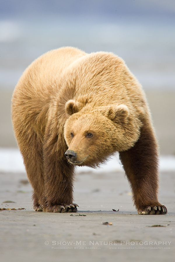 Brown Bear on the beach