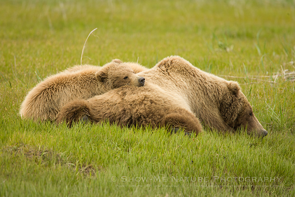 Brown Bear family resting in a sedge meadow