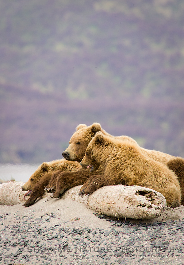 Brown Bear Family resting on the beach