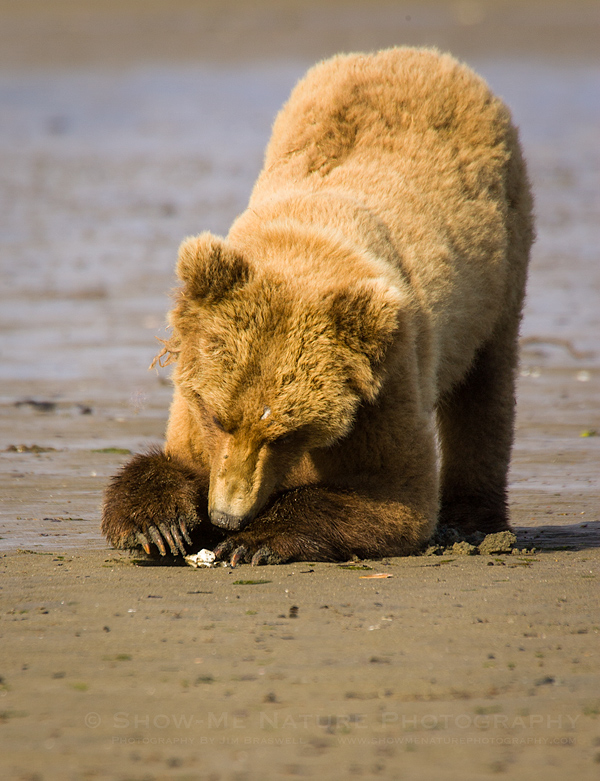 Brown Bear clamming