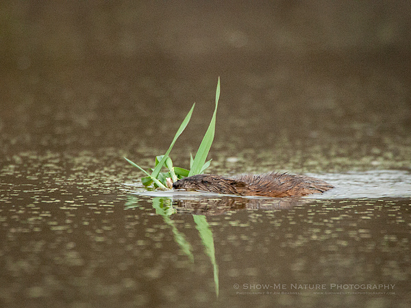 Muskrat carrying green plants back to his hut