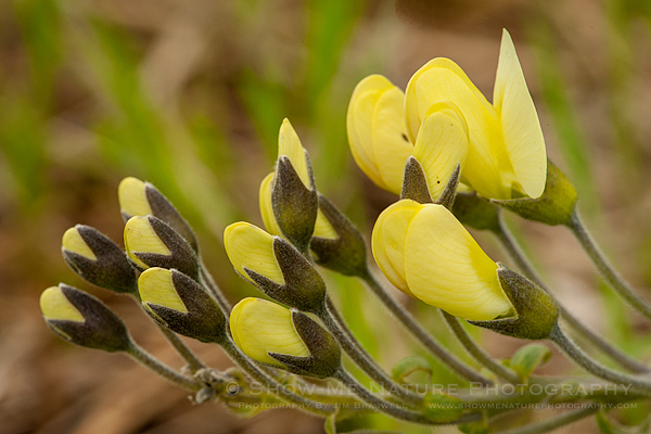 Long-bracted Wild Indigo wildflower buds/blooms