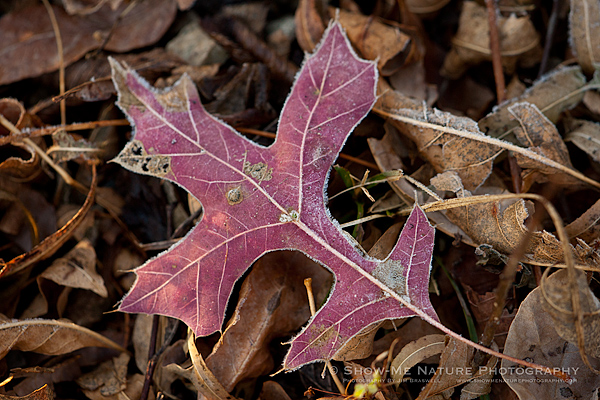 An oak leaf lies on the ground with frost around the edges