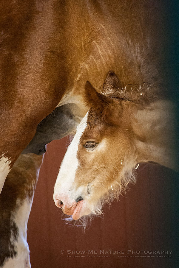 Budweiser Clydesdale foal with mom