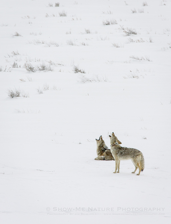 Coyotes howling in the Lamar Valley of Yellowstone NP