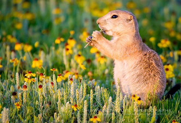 Black-tailed Prairie Dog in Sneezeweed wildflowers