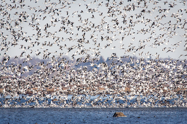 Snow Geese in a frenzy
