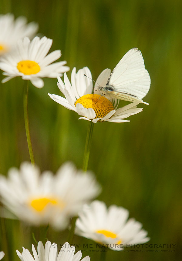 White Butterfly on a white wildflower