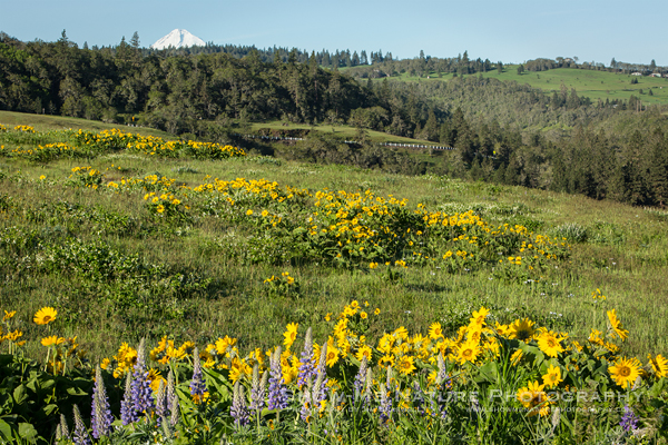 Wildflowers in front of Mt. Hood