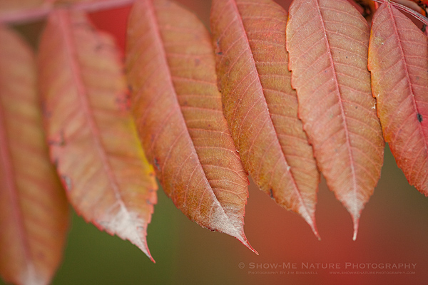 Sumac in fall colors, at the Cedar covered bridge