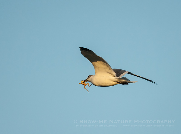 Laughing Gull with Frog