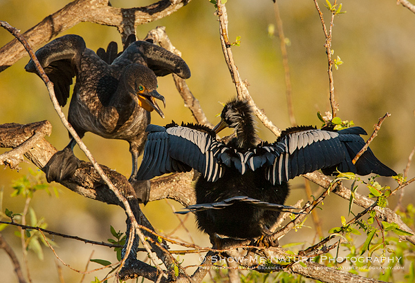 Anhinga and Double-crested Cormorant interaction
